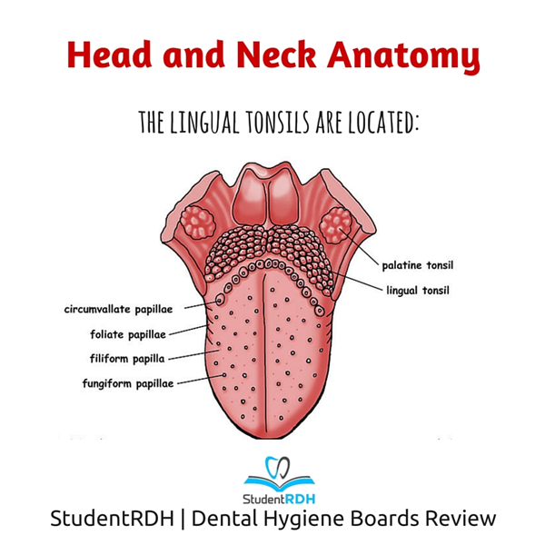 Q: Where are the lingual tonsils located?