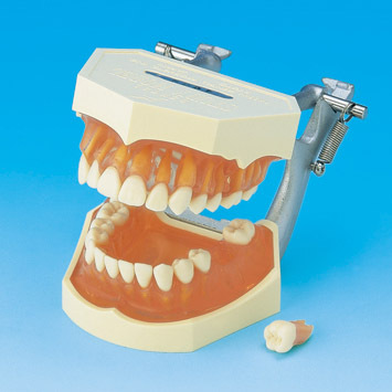 At www.Buyamag.com Dental Teeth Extraction Model Training Help Dental Students Practicing Teeth Extraction Surgery In School or Home, And Pass State Board Examination
